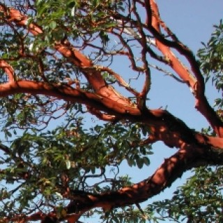 Profile picture of Arbutus
