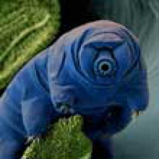 Profile picture of tardigrade