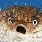 Profile picture of Pufferfish
